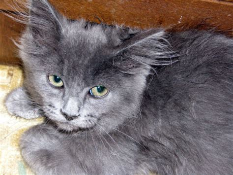 Types Of Cat Hair by Haired Cats Breeds Cats Types