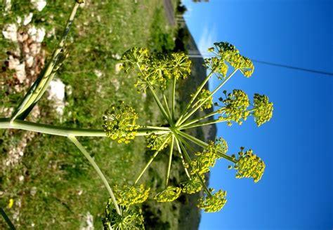 pianta dai fiori gialli la ferula pianta dai fiori gialli usata nel passato per