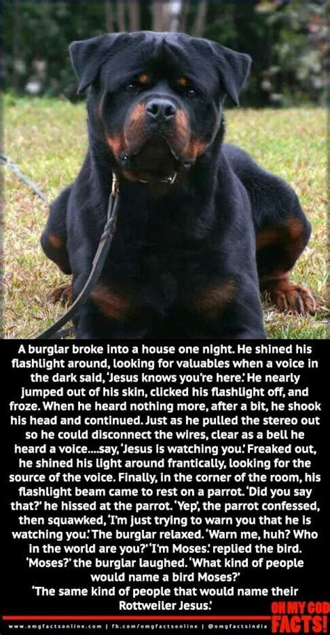 rottweiler jokes 25 great ideas about rottweiler on puppy cough pictures of