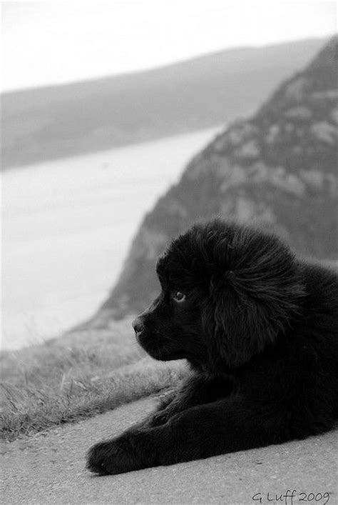 newfoundland puppies oregon newfoundland puppy so want one with a home big yard in oregon my place