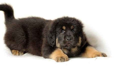 how much is a tibetan mastiff puppy tibetan mastiff breed information facts pictures temperament and characteristics