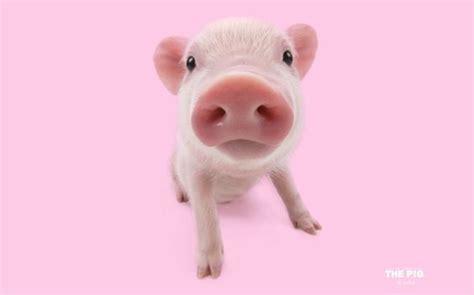 wallpaper cute pig artlist collection the pig wallpaper wild pinterest