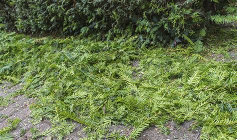 guide to pruning yew bushes tips for cutting back yews in the landscape