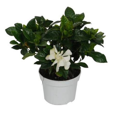 gardenia vaso gardenia jasminoides jazm 237 n cabo c12 venta