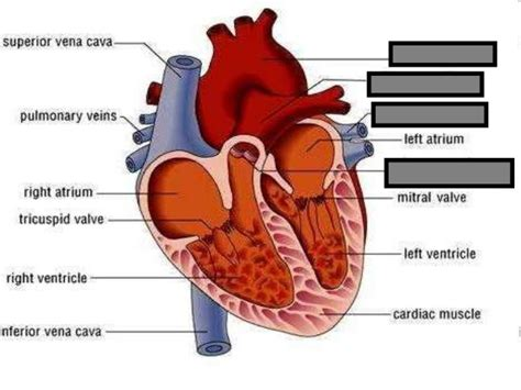 sections of the heart human heart visual quiz powerpoint parts of the heart