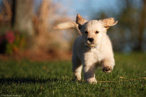 running puppy running puppy picture