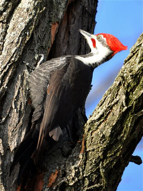 indiana birding and nature woodpecker profiles