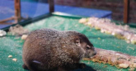 groundhog day 2015 groundhog day photos groundhog day 2015 ny daily news