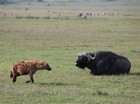 hyena vs hyena attacking buffalo images