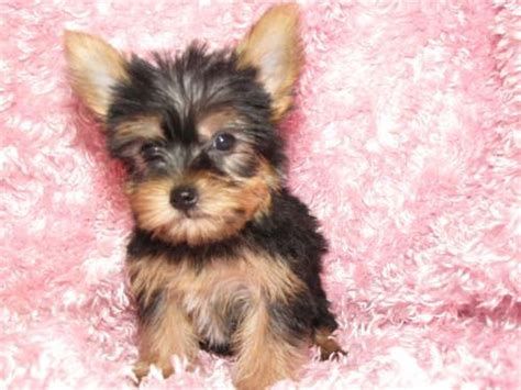 yorkie for sale florida 1000 ideas about teacup yorkie on yorkie terriers and yorkie