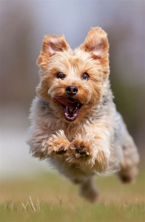 yorkie breeds types terrier breed information pet365