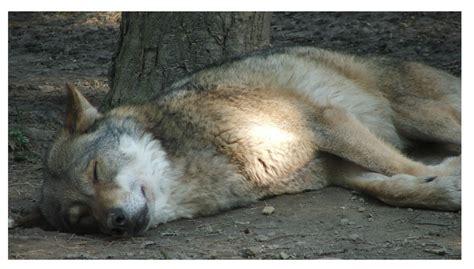 am schlafen der wolf am schlafen wedeman