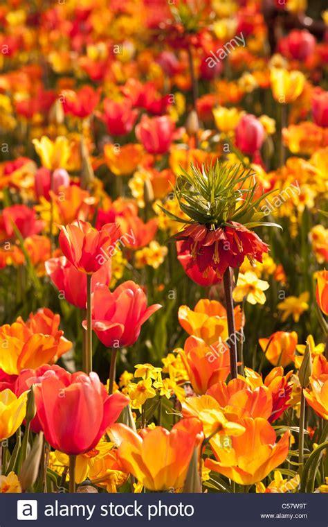 flower garden netherlands the netherlands lisse keukenhof flower garden mainly tulip