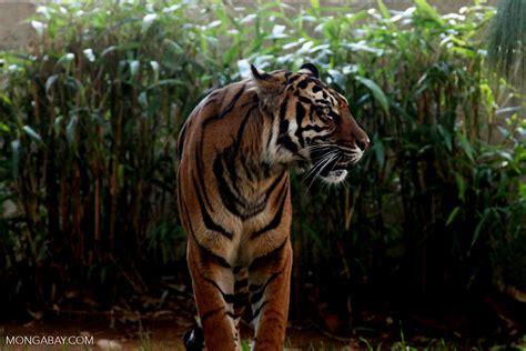 Harimaun Sumatera ternyata harimau sumatera masih ada di ogan komering ilir