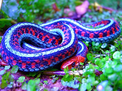 snake colors thamnophis sirtalis infernalis california sided garte