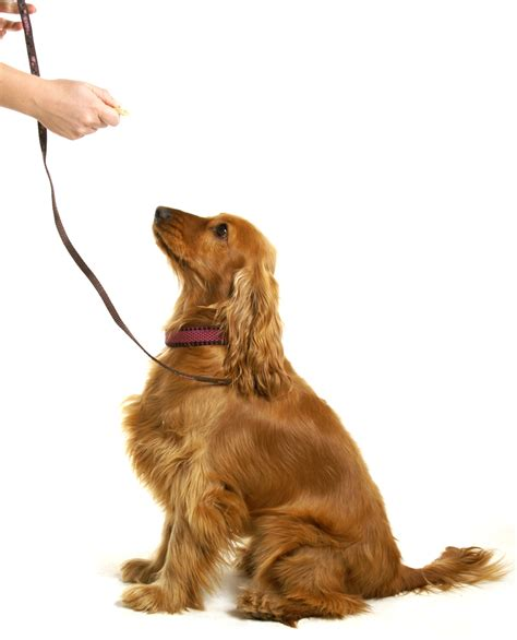 how to trained dogs what is clicker obedience