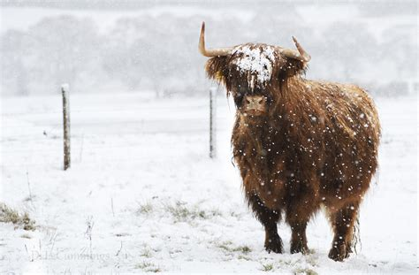 in snow highland cow in snow