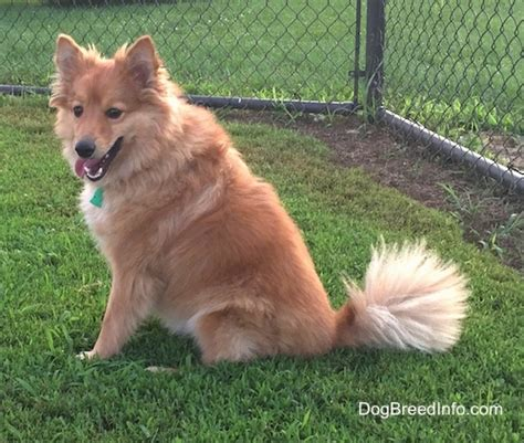 sheltie pomeranian poshies breed information and pictures