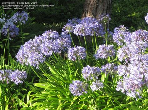 plantfiles pictures lily of the nile african lily agapanthus africanus by zanymuse