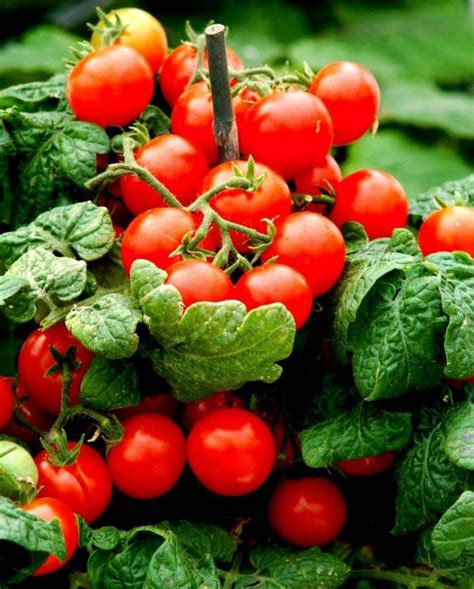 Backyard Tomatoes by 5 Ways To Add More Color To Your Vegetable Garden
