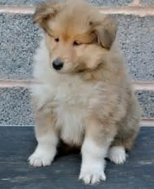 Rough Collie Facts Pictures Puppies Rescue Temperament Breeders » Home Design 2017