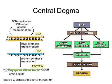 dna replication and protein synthesis venn diagram venn diagram dna replication and protein synthesis gallery