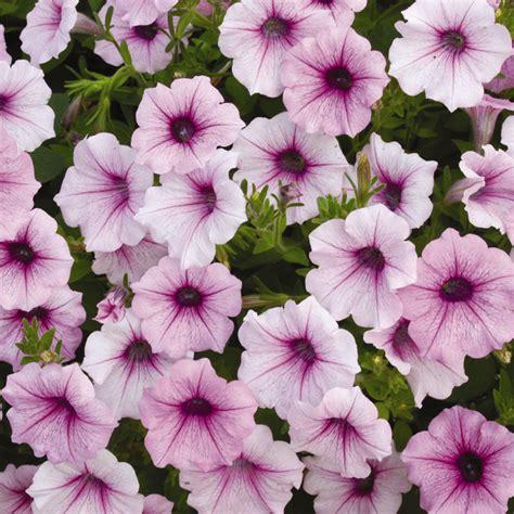 shock wave 174 pink vein petunia seeds