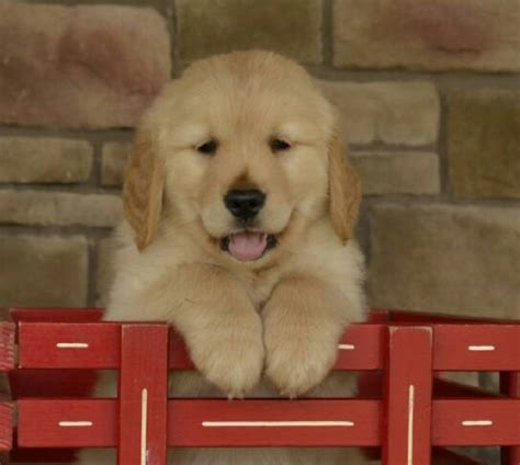 golden retriever breeders in ny golden retriever puppies for sale new york ny 198477