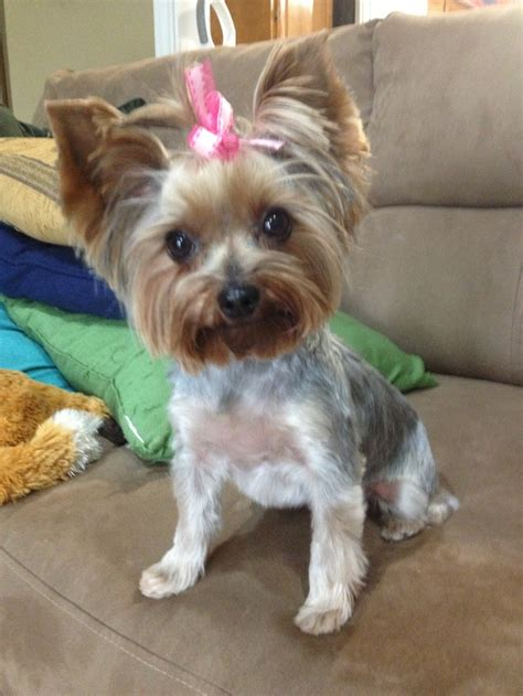 haircuts for female yorkies the 25 best yorkie hair cuts ideas on pinterest yorkie