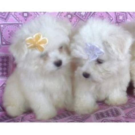 buttercup puppies buttercup puppies shih tzu breeder in croswell michigan