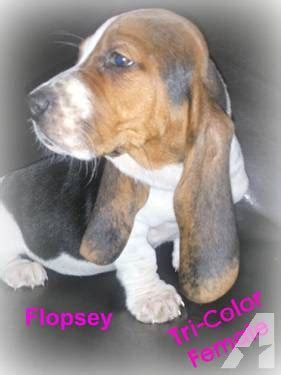 basset hound puppies for sale in indiana ckc basset hound puppies for sale in russiaville indiana classified americanlisted