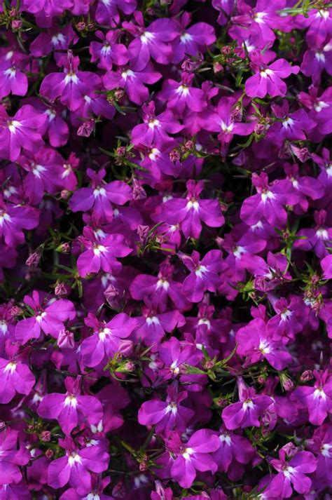 lobelia erinus magadi electric purple lucas greenhouses