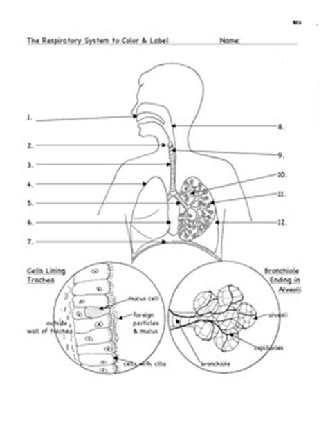 Respiratory System Worksheets by Respiration The Respirator By Bluebird Teaching