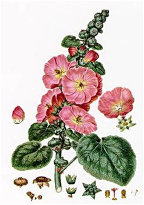 hollyhock tattoo designs 1000 images about botanical prints on