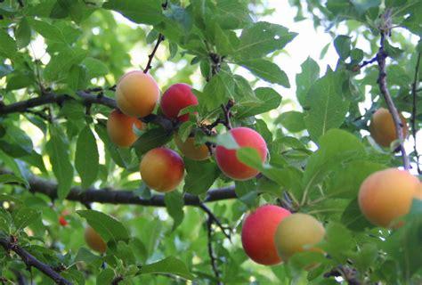 ordering fruit trees list of plum tree varieties plum tree ripening order