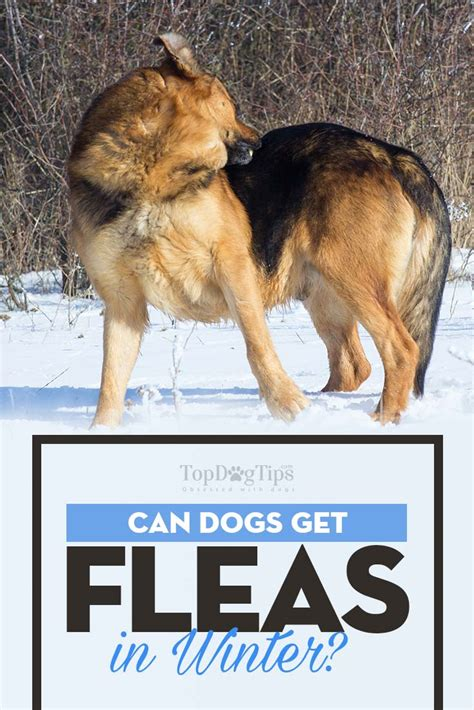 when can dogs get can dogs get fleas in the winter and how to deal with fleas in winter
