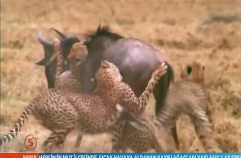 kurtlar belgesel izle hayvanlar alemi aslan belgeseli izle 2015 vahşi bir belgesel hayvanlar alemi belgesel izlesene com