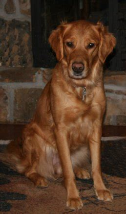 hill golden retrievers all about fern hill golden retrievers beautiful top quality field and working lines