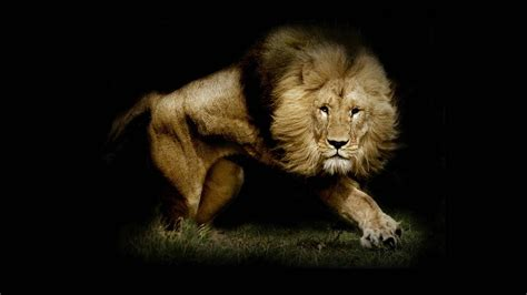 wallpaper hd of lion lion wallpapers best wallpapers