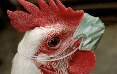 Obat Mata Anak Kuning ini 2 obat ayam pilek yang uh untuk ayam bangkok