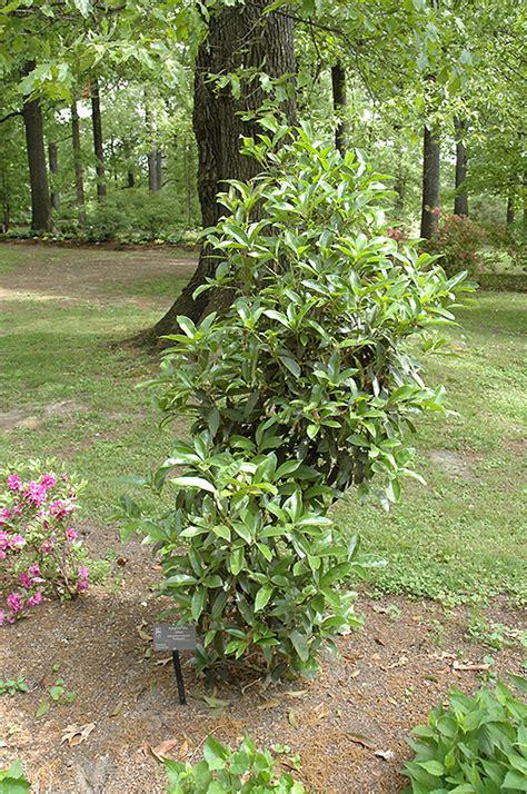 fudingzhu fragrant tea olive osmanthus fragrans