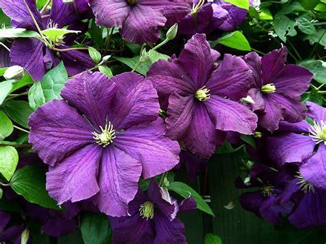 clematis viticella etoile violette 4887 a clematis primer cottage garden living