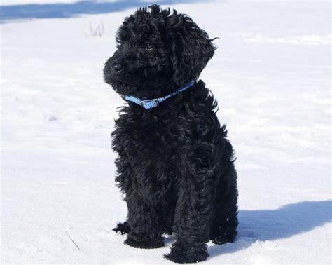 black labradoodle puppy black labradoodle animals