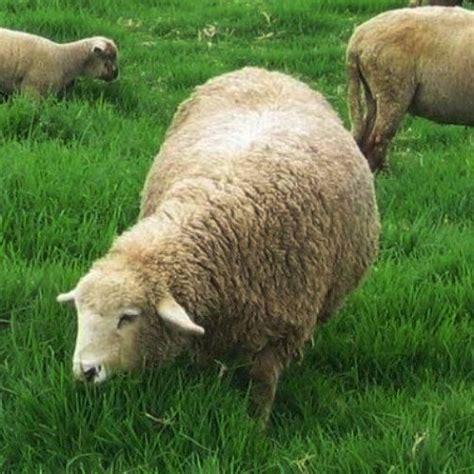 Bisnis Penggemukan Domba mudabeternakdomba hcs usaha domba bisnis yang menggiurkan