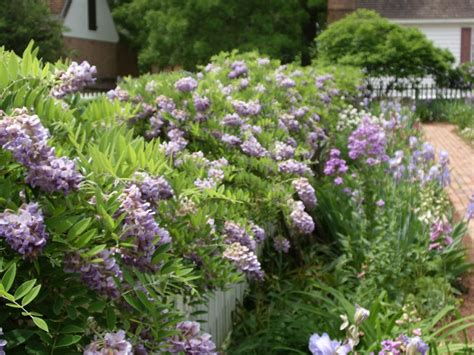Image Wisteria 4360 Colonial Jpg 164 Best Images About Colonial Williamsburg Gardens On