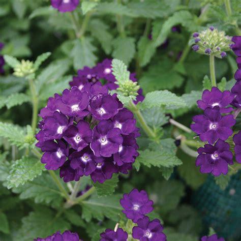 Purple Aztec verbena aztec magic purple plants from mr fothergill s