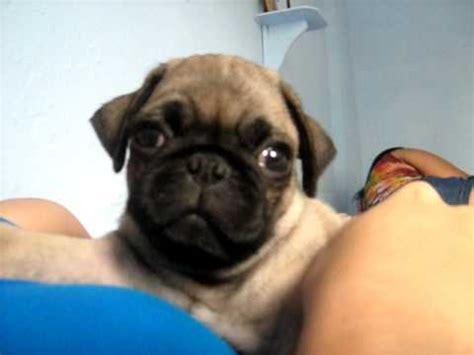 pug bebe bebe pug adorable