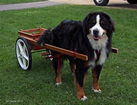bernese mountain puppies nc 10 stocky facts about bernese mountain dogs mental floss