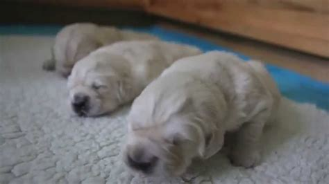 golden retriever puppies 1 week puppy lullaby sleeping time golden retriever puppies 2 weeks