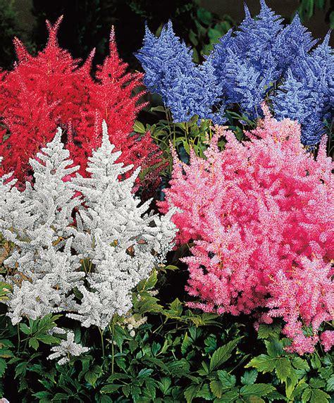 fiori bakker acquista astilbe in mix bakker